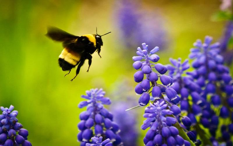 drones bees with Bumblebees The Best Greenhouse Pollinators on Happens Queen Bee Dies 5159216 likewise The Drone Male Bee as well Swarm additionally Laying Workers furthermore Balarama.