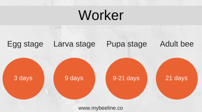 worker bee life cycle
