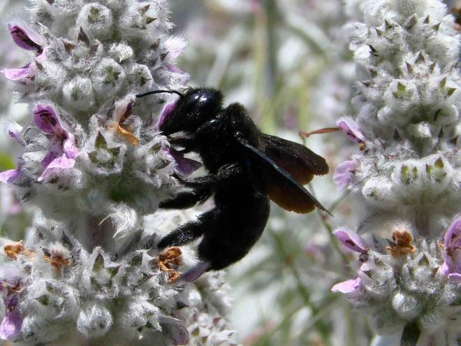 Carpenter dark bee