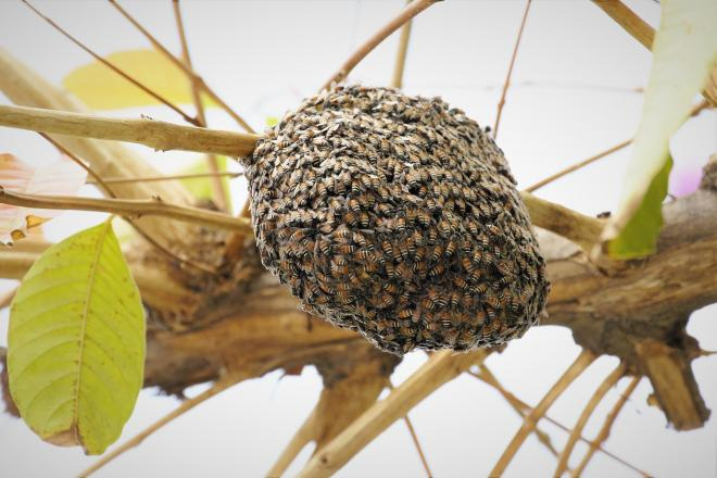 Bees nest and how to deal with it