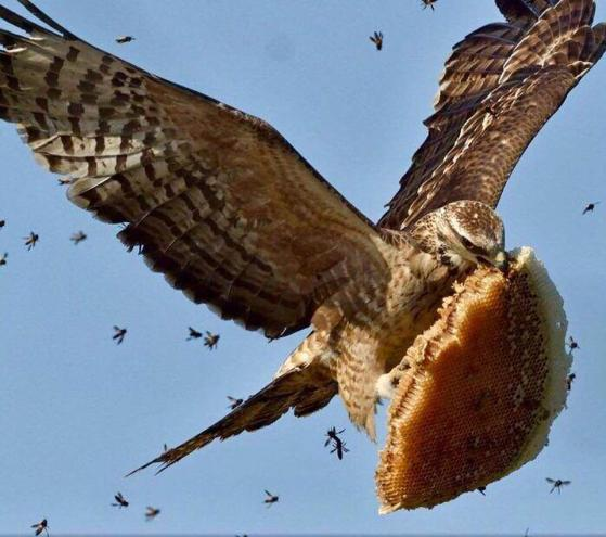 Honeycomb thief with bees in hot pursuit