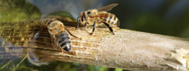 Why bees need water and how you can safely provide it for them?