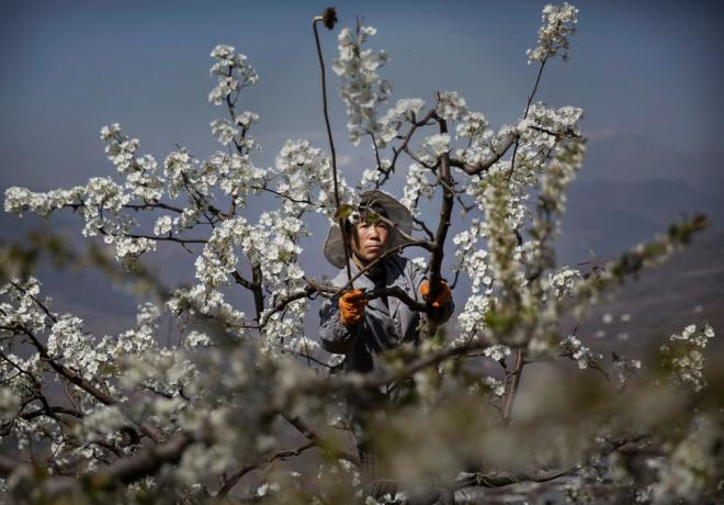China producers are forced to pollinate fruit trees by hand!