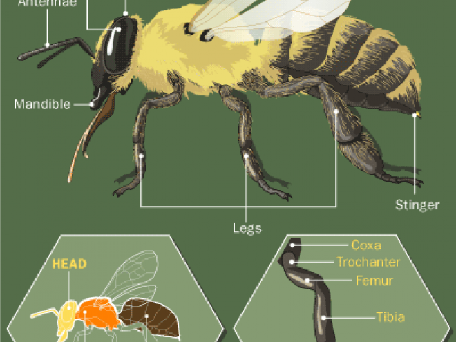 honey-bee-anatomy2