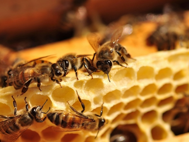 European honeybees are being poisoned with up to 57 different pesticides