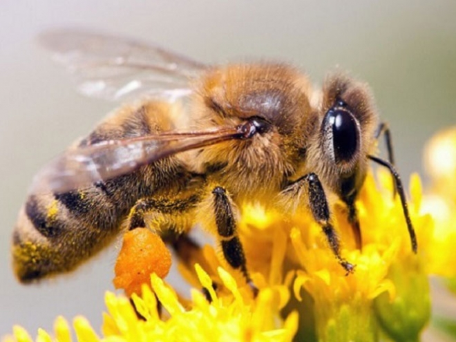 How the honey bees navigate?