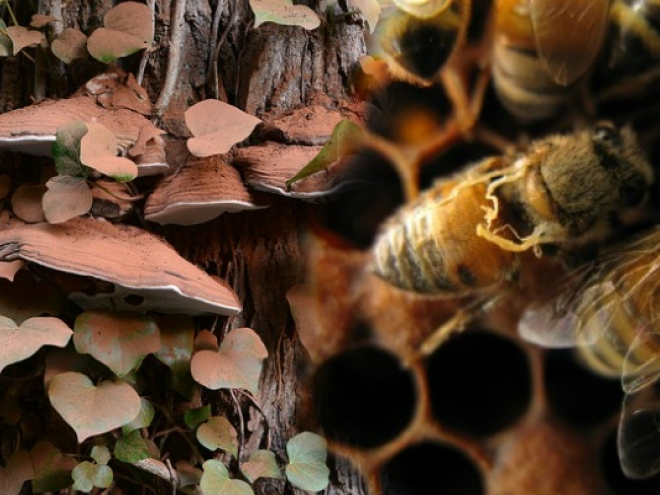 Could a mushroom save the honeybee?