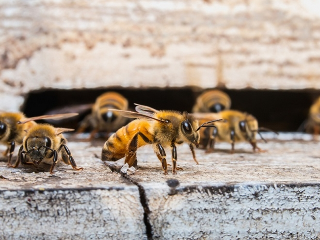 Organic agriculture: right way of saving bees from extinction!