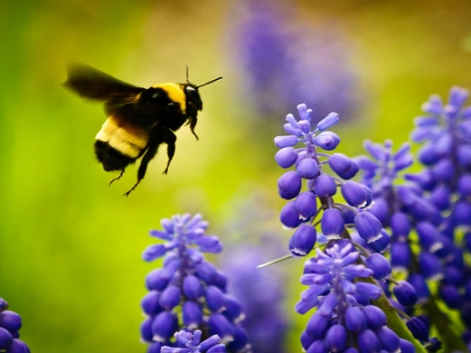 Bumblebees – the best greenhouse pollinators!