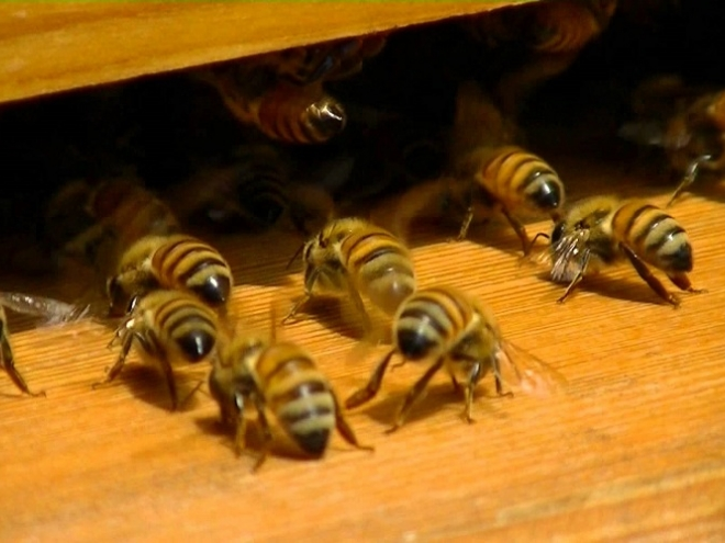 Stress can lead to Bee Colony Collapse!