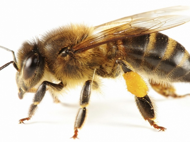 Bee anatomy: The body of the bee