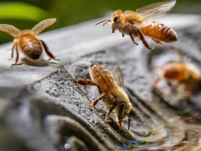 What bees do to beat the heat?