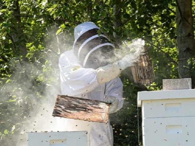 Escherichia coli and Malaria: infections and diseases that bees can fight off!