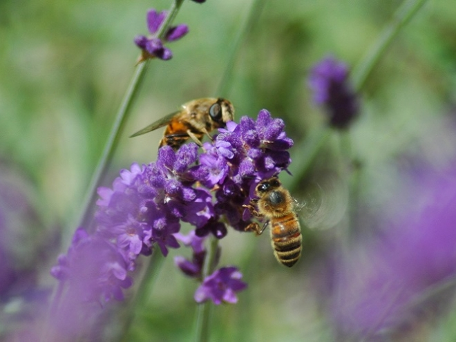Flowers' Aroma can calm the most aggressive of bees!