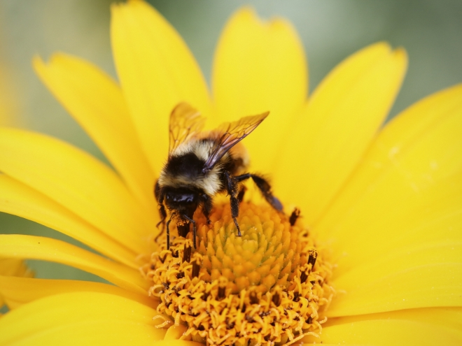 No sick day for bees: They're excellent workers even when they are ill!