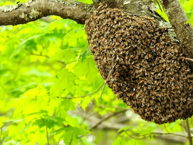 Swarming Bees: What's it all about?